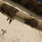Hirondelles au ravitaillement des petits