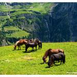 Pferde beim weiden im Kiental (498)