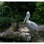 Pelikan (3955)