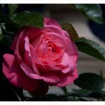 Rose 5034