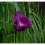 Tulpe 3695