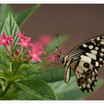 Schmetterling (Art-Nr. 8615)