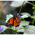 Monarch (2148)