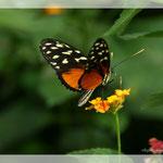 Schmetterling (Art-Nr. 007)