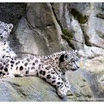 Schneeleopard (Art.-Nr. 7467)