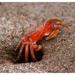Krabbe (5790)