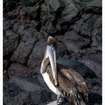 Pelikan (4264)