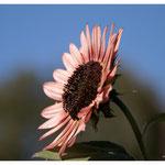 Sonnenblume 6059