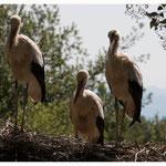 Storchenfamilie (339)