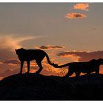 Gepard (Art.-Nr. 5874)