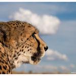 Gepard (Art.-Nr. 5338)