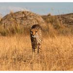 Gepard (Art.-Nr. 5227)
