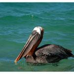 Pelikan (4116)