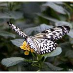Schmetterling ( 2042)