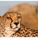 Gepard (Art.-Nr. 5623)