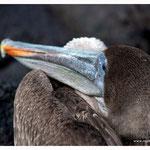 Pelikan (4790)