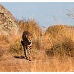 Gepard (Art.-Nr. 5218)