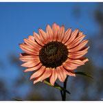 Sonnenblume 6056