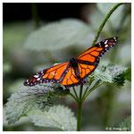Monarch (2127)
