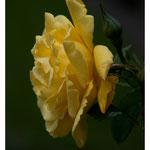 Rose 5011