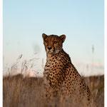 Gepard (Art.-Nr. 5656)