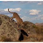 Gepard (Art.-Nr. 5346)