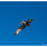 Pelikan (4104)
