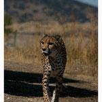 Gepard (Art.-Nr. 3148)
