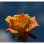 Rose 5052