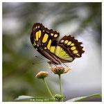 Schmetterling (2096)