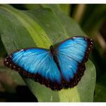 Schmetterling (Art-Nr. 8695)