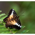 Schmetterling (Art-Nr. 8662)