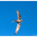 Pelikan (4105)