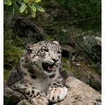 Schneeleopard (Art.-Nr. 789)