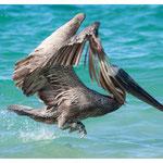 Pelikan (4122)