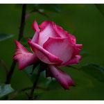 Rose 5015