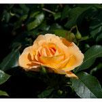 Rose 5091