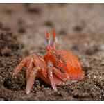 Krabbe (5915)