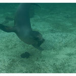 Sealion Art-Nr. 0544