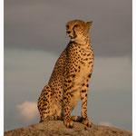 Gepard (Art.-Nr. 4220)