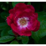 Rose 5097
