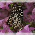 Schmetterling (Art-Nr. 008)
