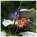 Monarch (2141)