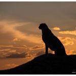 Gepard (Art.-Nr. 5795)