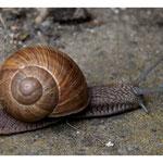 Weinbergschnecken - sie sind stark bedroht obwohl sie kaum Schaden in den Gärten anrichten. ( 8333)