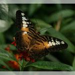Schmetterling (Art-Nr. 005)