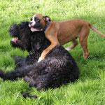 Lennox und Schwarzer Terrier Al Kapone