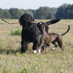 Schwarzer Terrier Winnie und Leo