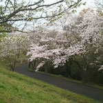 江津市 中央公園の桜