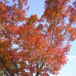 江津市 中央公園の紅葉